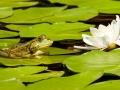 116-frog-2504507_1920_amphibien