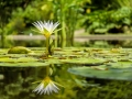37-water-lily-1857350_1920_point deau