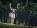 79-fallow-deer-984573_1920_bois durable