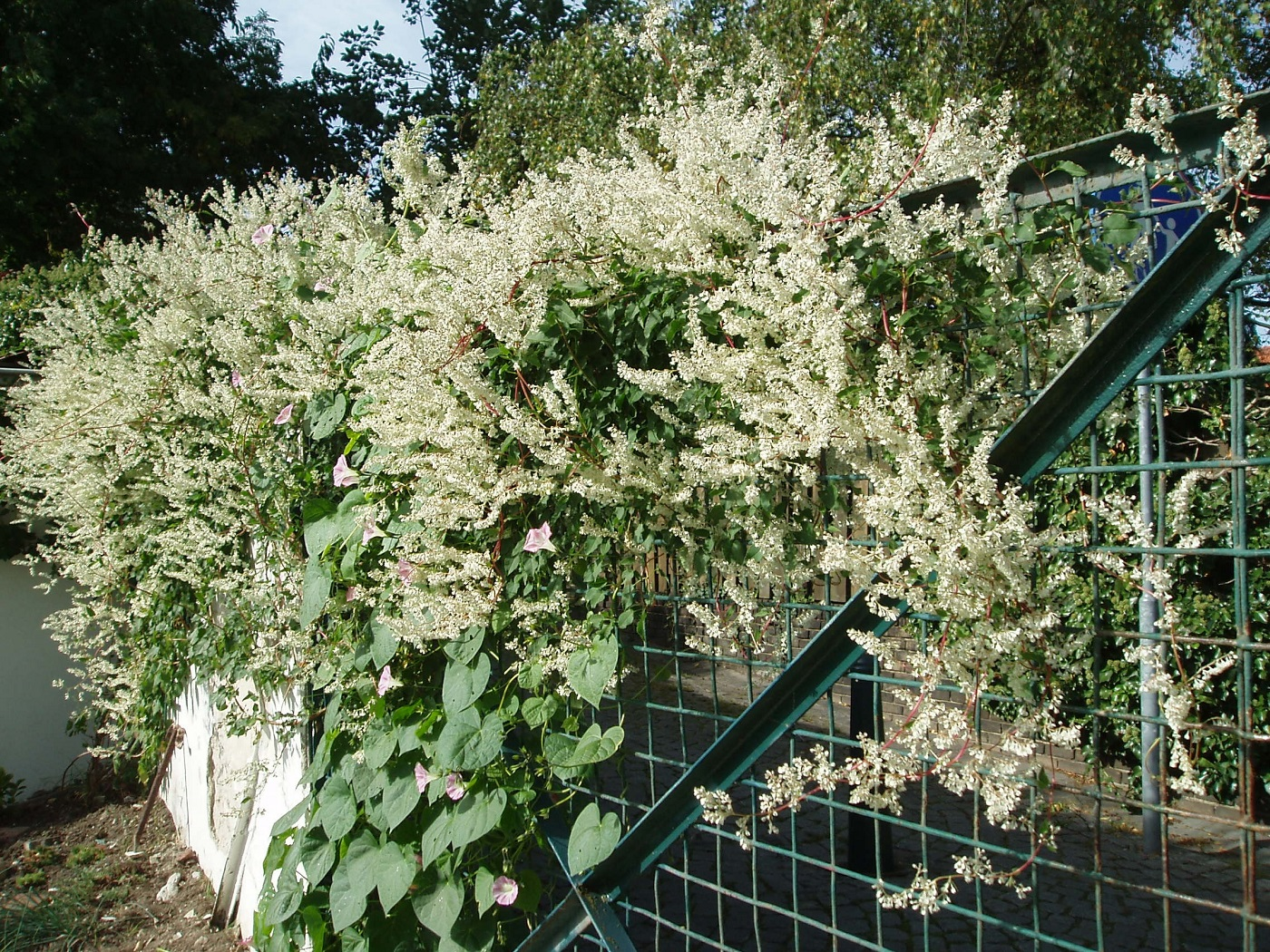 33-103_Plante invasive - bridal-veil-485007_privilegier espece indigene